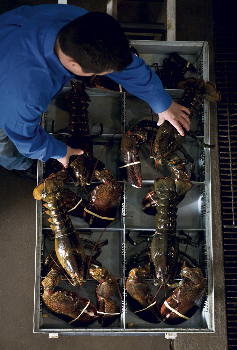 Operations Manger, Paul Valdez, wrangles lobsters