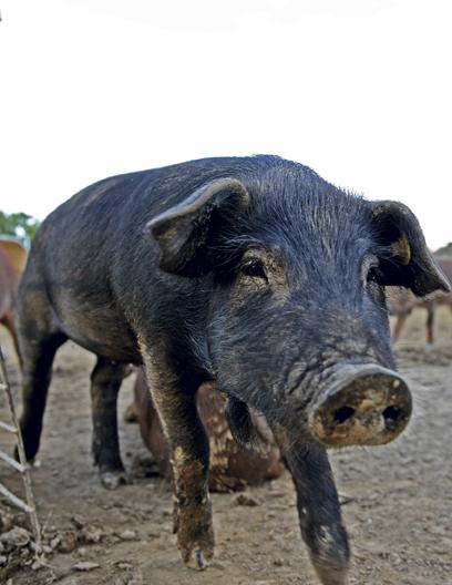 Kentucky pig